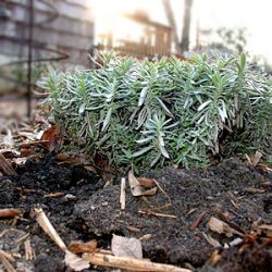 Shallow rooted lavender plant heaving as the ground warms.